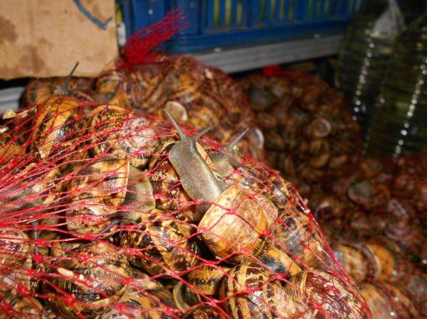 Live snails per kilo